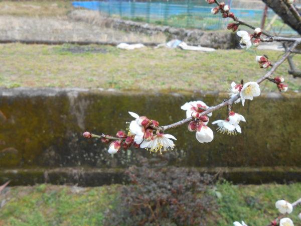 梅の花がさきました。